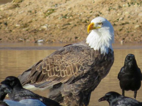 Bald eagle surrounded by the crow paparazzi at the river.
